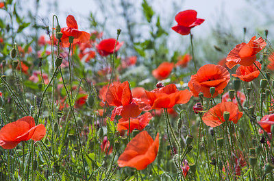 Wild flower ww1 memorial flower red common field poppy wild flower ww1 memorial flower red common field poppy uk 33000 seeds mightylinksfo
