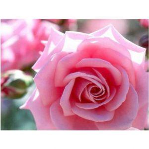 pink rose seeds