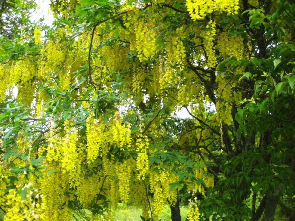 Image result for yellow wisteria